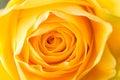 Macro Of Yellow Rose