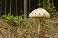 Macrolepiota Procera - Parasol Mushroom Royalty Free Stock Photo