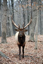 Mad bull elk Royalty Free Stock Photos