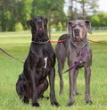 Mad dog pair of great danes with the one on the left looking mean Stock Photo