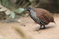 Madagascan partridge Royalty Free Stock Photo