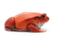 Red tomato frog isolated on white background
