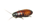 Madagascar cockroach. Isolated on white. Royalty Free Stock Photo