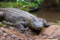 Madagascar Crocodile, Crocodylus niloticus Royalty Free Stock Photo