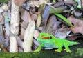 Madagascar day gecko Stock Images