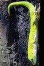 Madagascar Day Gecko Royalty Free Stock Photography