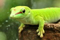 Madagascar day gecko a from looks on with intensity as it gets its photo snapped Stock Photo