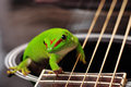 Madagascar day gecko sitting on a guitar Royalty Free Stock Photography