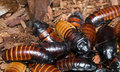 Madagascar Hissing Cockroaches Stock Image