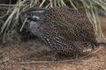 Madagascar partridge Royalty Free Stock Photo