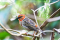 Madagascar Red Fody Royalty Free Stock Photo