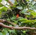 Madagascar Red Fody, Cardinal bird in a zoo Royalty Free Stock Photo