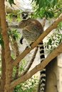 Madagascar's Ring-tailed lemur on the tree. Royalty Free Stock Images