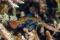 Madarin Fish, Madarin Dragonet Royalty Free Stock Photo