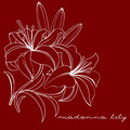 Madonna lily white on a burgundy background Royalty Free Stock Photos