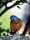 małe śpiewającego europę ptaka na południe Zdjęcie Stock