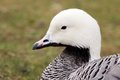 Magellan Goose Portrait Royalty Free Stock Photos