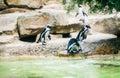 Magellan penguin going to swim Royalty Free Stock Photo