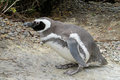 Magellan penguin Royalty Free Stock Photo