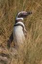 Magellan Penguin in Patagonia Stock Photography