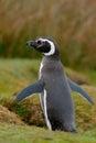 Magellan penguin. Penguin in grass, funny image in nature. Falkland Islands. Bird in nest ground hole.
