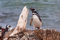 Magellan Penguin (Spheniscus magellanicus) Royalty Free Stock Photo