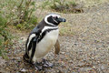 Magellan penguin in the wild Royalty Free Stock Photo