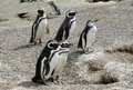 Magellan penguins colony Royalty Free Stock Photo
