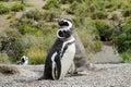Magellan penguins family Royalty Free Stock Photo