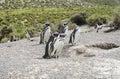 Magellan penguins near the nest Royalty Free Stock Photo