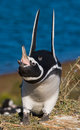 Magellanic penguin in the colony. Close-up. Argentina. Peninsula Valdes. Royalty Free Stock Photo