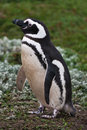 Magellanic penguin female stays in the colored grass in patagonia chile Stock Photos