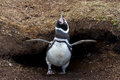 Magellanic penguin in front of his nest falkland islands Royalty Free Stock Image