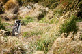 Magellanic Penguin in the grass Royalty Free Stock Photos