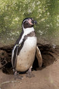 Magellanic penguin magel lanice before a hole Royalty Free Stock Images
