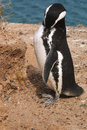 Magellanic penguin in patagonia spheniscus magellanicus Stock Photos