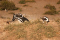 Magellanic penguin in patagonia spheniscus magellanicus Royalty Free Stock Photo