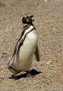 Magellanic penguin in Punta Tombo, Patagonia. Royalty Free Stock Photography