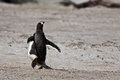 Magellanic penguin runs out of camera in the sand beach falkland island Royalty Free Stock Image