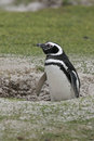 Magellanic penguin spheniscus magellanicus single bird on beach falklands Royalty Free Stock Image