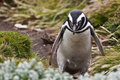 Magellanic penguin stays opposite to camera on the grass Royalty Free Stock Photos