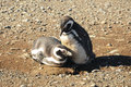 Magellanic penguins couple of the on the island of magdalena chile Stock Photo