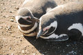 Magellanic penguins couple of the on the island of magdalena chile Royalty Free Stock Photography