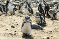 Magellanic penguins on the magdalena island magellan Royalty Free Stock Photo