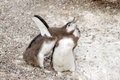 Magellanic penguins in the patagonia Royalty Free Stock Photos