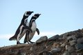 Magellanic Penguins  at the penguin sanctuary on Magdalena Island in the Strait of Magellan near Punta Ar Royalty Free Stock Photo