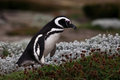 Magellanic penguins stays on the flower grass in patagonia Royalty Free Stock Image