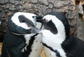 Magellanic penguins sympathetic Stock Image