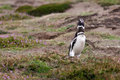 Magellanicus penguin screams and flaps its wings Royalty Free Stock Image