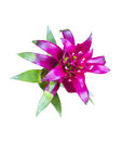 Magenta aechmes fasciata bromeliad isolated on white with clipping path Stock Images